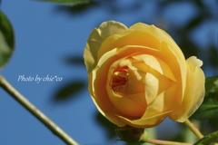 冬の薔薇。。2