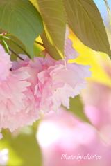 八重桜。。3