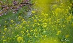 春めき桜-174