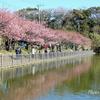 三浦海岸の河津桜-125