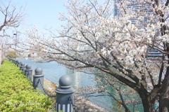 横浜*桜さんぽ-252