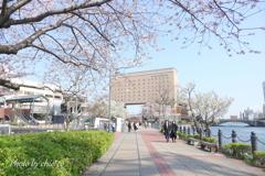 横浜*桜さんぽ-255