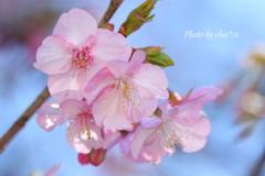三浦海岸の河津桜-119