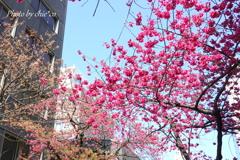 横浜関内の早咲き桜-134