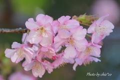 三浦海岸の河津桜-120