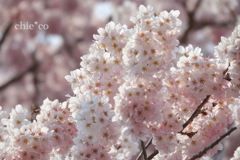 春めき桜-169