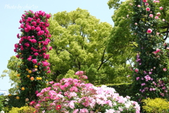横浜 Rose Week-258