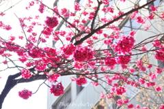 横浜関内の早咲き桜-137