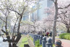 横浜*桜さんぽ-256