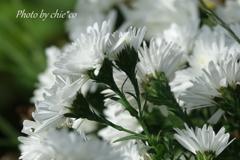 花菜ガーデン-380