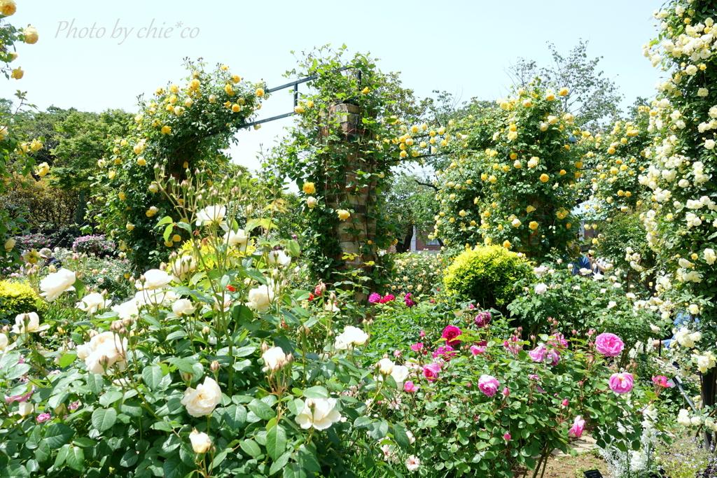 横浜 Rose Week-318