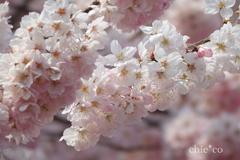 春めき桜-172