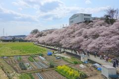 春めき桜-181