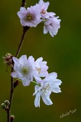 十月桜。。
