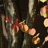 桂の葉。。