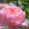 横浜 Rose Week-313
