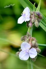 紫露草(むらさきつゆくさ)。。