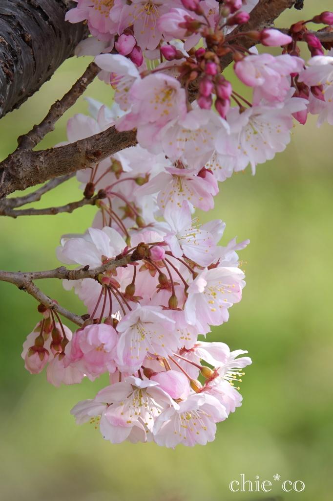 春めき桜-149
