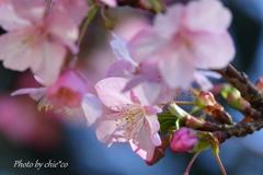 三浦海岸の河津桜-121