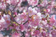三浦海岸の河津桜-117