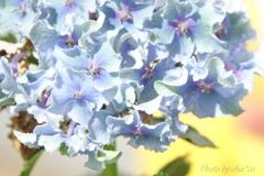 紫陽花。。
