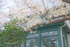 横浜*桜さんぽ-246