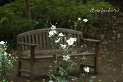 秋明菊の咲くベンチ。。