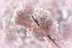 春めき桜-167