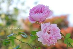 冬の薔薇。。6