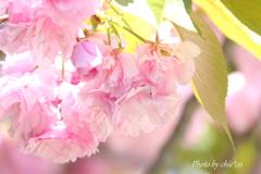 八重桜。。2