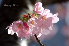 横浜関内の早咲き桜-121