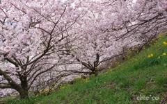 春めき桜-175