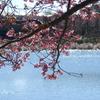 三浦海岸の河津桜-129