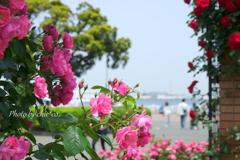 横浜 Rose Week-260
