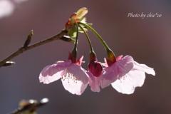 横浜関内の早咲き桜-123