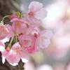横浜関内の早咲き桜-127