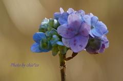冬の紫陽花。。3
