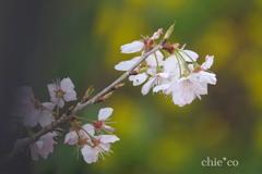 春めき桜-178
