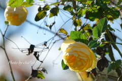 冬の薔薇。。3
