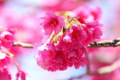 横浜関内の早咲き桜-130