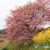 みなみの桜1