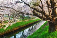 桜並木を照らす
