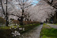 桜並木と川