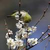 170210-4梅の蜜を吸うメジロ