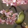 170220-10河津桜の蜜を吸うメジロ