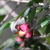 170210-5椿の蜜を吸うヒヨドリ