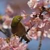 170220-8河津桜の蜜を吸うメジロ