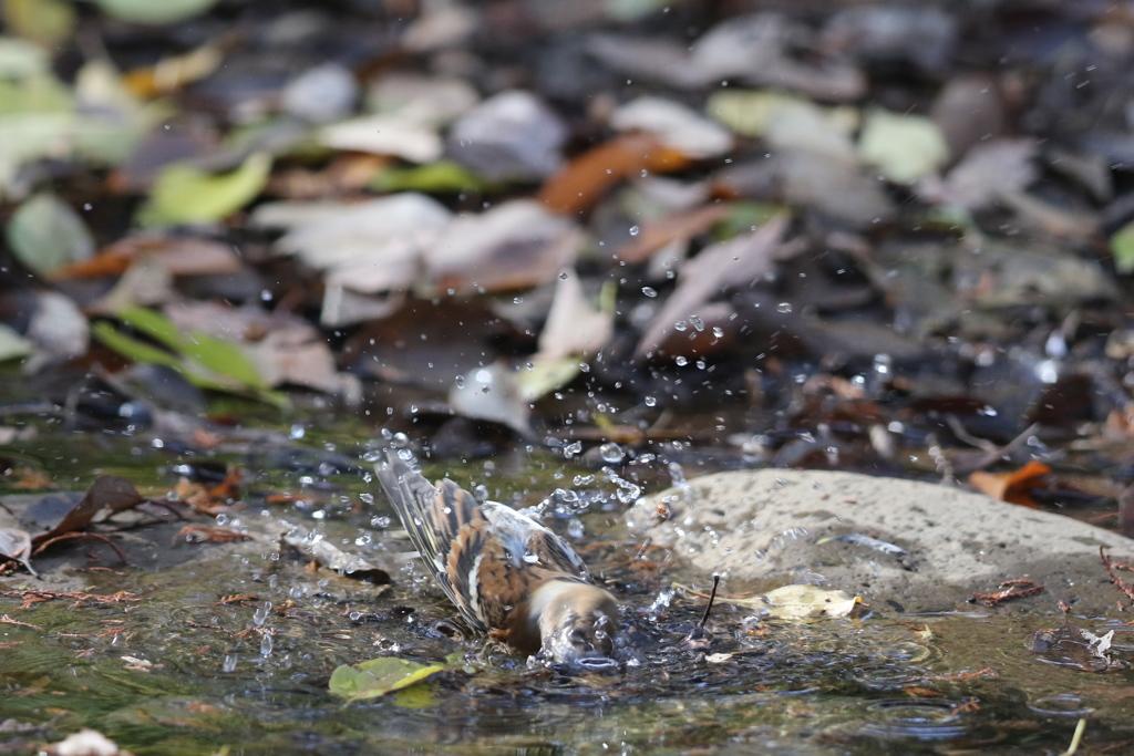 161203-16アトリの水浴び