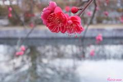 紅く咲くのは梅の花