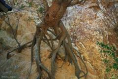 岩を砕く根